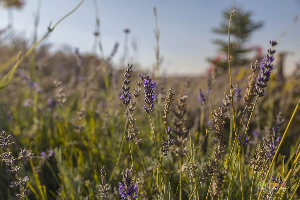 Lavendar in October at the garden in Ariana Sustainable Luxury Lodge in Cappadocia Turkey
