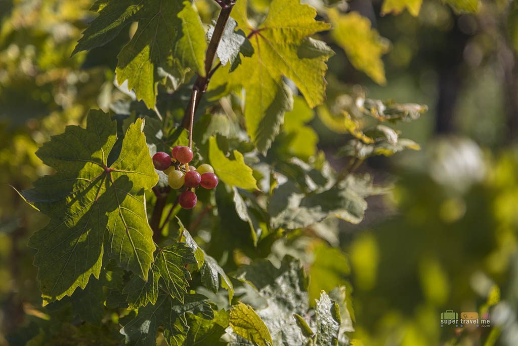 Wine Grapes in October at the garden in Ariana Sustainable Luxury Lodge in Cappadocia Turkey