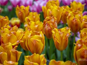 Tulipa 'Delta Storm' at The Kuekenhof Holland