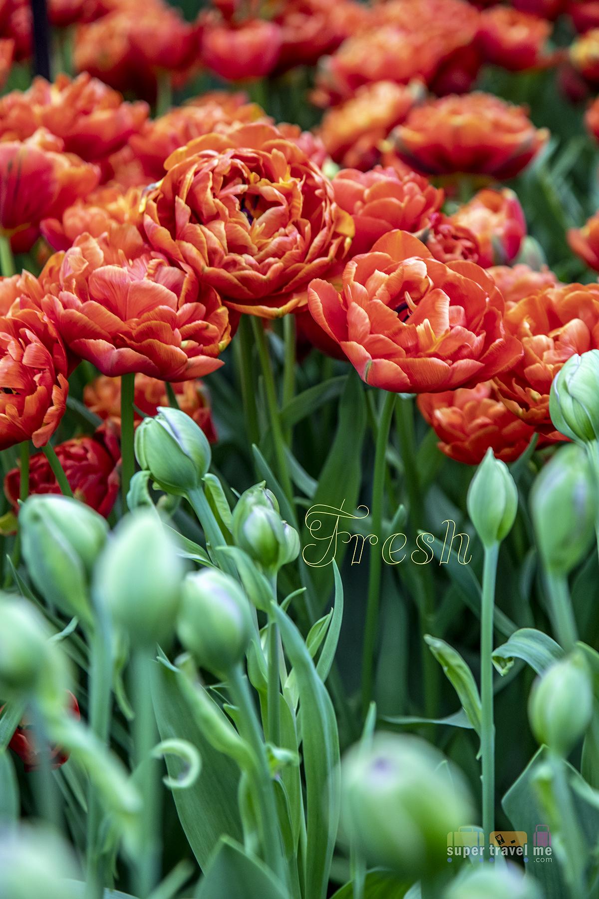 Appreciate the Tulips at The Keukenhof Holland
