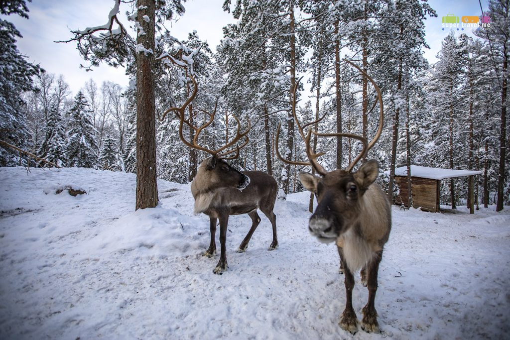 Reindeers at The White Reindeer Park in Espoo, Finland